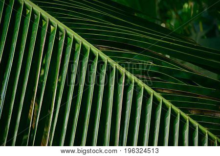 Natural coconut leaves texture background,Leaves of palm tree