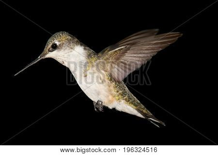 Juvenile Ruby-throated Hummingbird (archilochus colubris) in flight with a black background