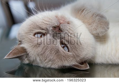 Upside Down White British Shorthair Cat On Table Glass Surface