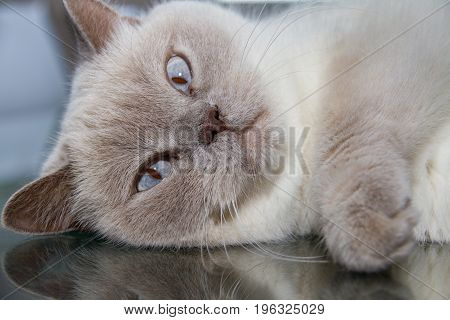 Close-up Of White British Shorthair Cat On Table Glass Surface