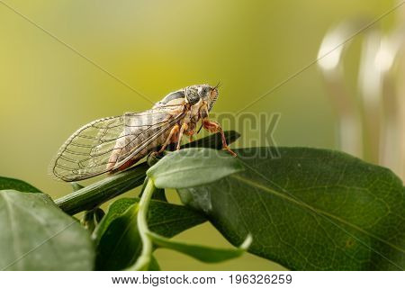 Cicada Euryphara known as european Cicada sitting on a twig with a green background. Insect sings beautifully and prefers a warm climate. Selective focus