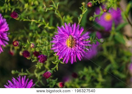 Honey bee on a violet flower aster alpinus. limited depth of field.