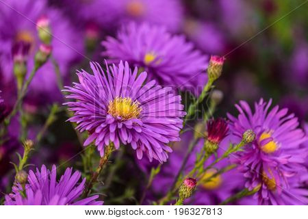 Colorful violet flowers aster alpinus close-up. Beautiful natural plant with limited depth of field.