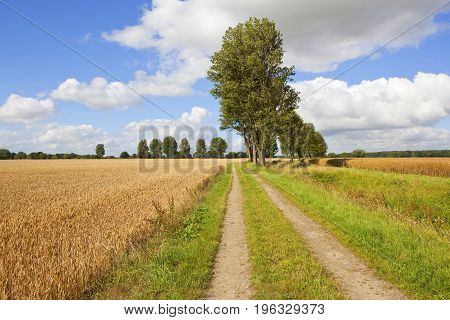 Farm Track And Poplar Trees