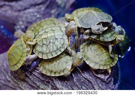 Red-eared Slider Turtle,Close-up of a small Red-eared slider (Trachemys scripta elegans)