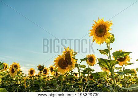 Yellow Sunflowers On Field Farmland With Blue Cloudy Sky