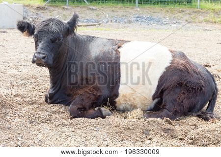 Black and white cow or bull laid down on brown sand.