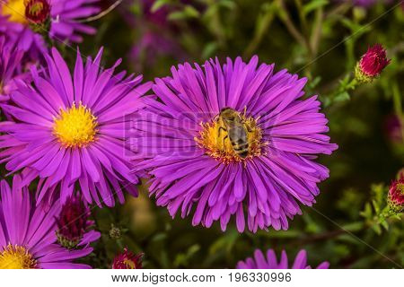 Honey bee on a colorful violet flower aster alpinus. Beautiful natural plant with limited depth of field.