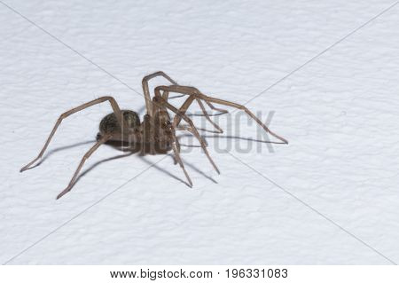 Brown home spider isolated on white background - macro.