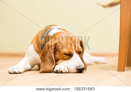 Dog beagle breed at the age of 2 years old the female sleeps on the floor with her head on her paw