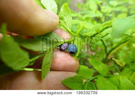 Collecting blueberry from a bush by hand