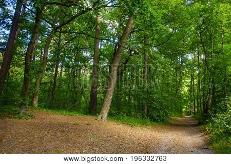 Beautiful pine forest at summer time