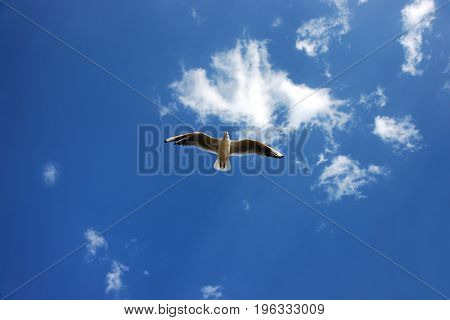 White Seabird With Black Wing Tips Flying And Soaring Up In The Blue Air Filled With Clouds.