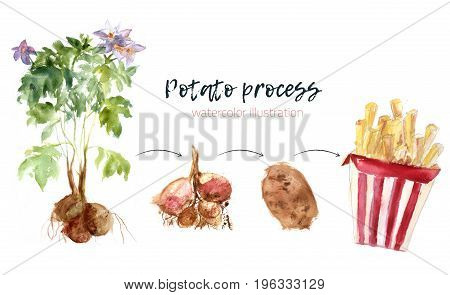 Watercolor potato grow process to fries. Free style paint illustration infographics with splashes. Whole and potatoes fries in packaging.
