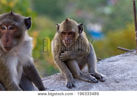 Portrait of a Baby Rhesus macaque monkey , Cambodia