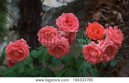 Group Of Blooming Roses Against Palms