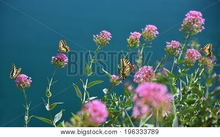 Group Of Swallowtail Butterflies On Purple Host Plant