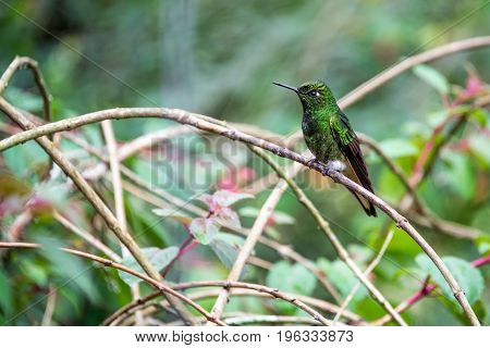 Green Hummingbird In Colombia