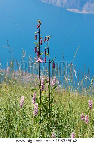 Beautiful Protected Wildflower Lilium Martagon, Garda Lake Background
