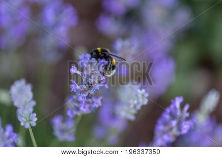 Humble-bee bumble bee in a field of lavander flowers blurred background close up macro.