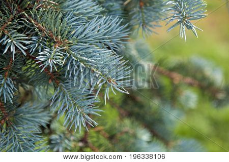 natural background branch blue spruce close up