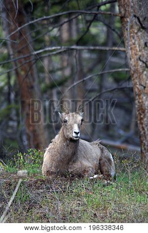 a big horn sheep sits in the woods