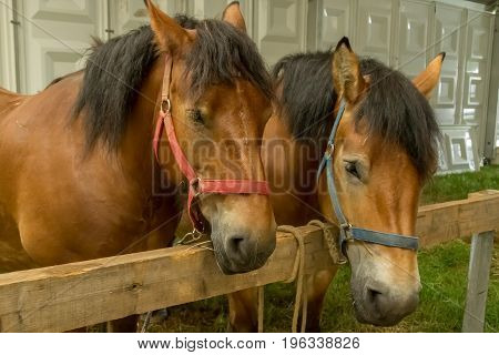 Close up of two Ardennais horses originating from the Ardennes area in Belgium, Luxembourg and France.