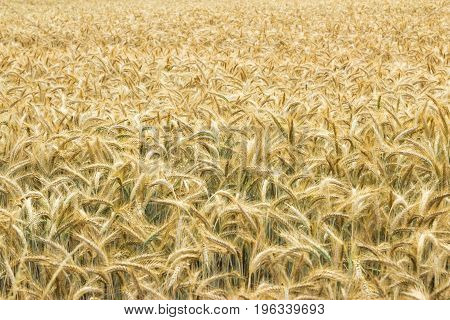 Field of wheat. Plant, nature, rye. Crop on farm. Stem with seed for cereal bread. Agriculture harvest growth. Yellow golden rural summer landscape. Ripe food