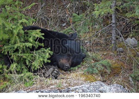 the head and paw of a large sleeping black bear