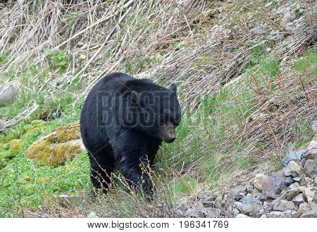 a black bear approaches a pile of rocks