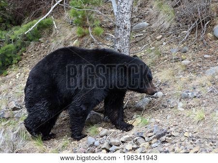 a black bear walks along a trail