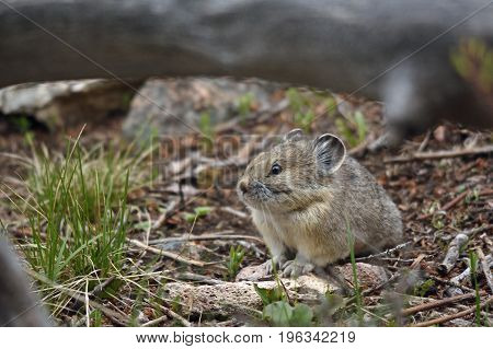 a pika stands framed by a branch