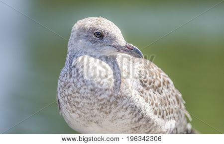 Closeup Of Soft Clean Brown And White Seagull , Detail In Face, Beak And Eye