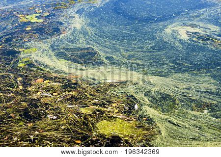 Closeup of polluted water full of seaweed and debris environmental issues and protection concept and background