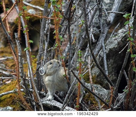 a pika stands in a thorny bush