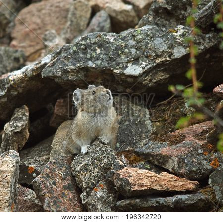 a pika looks out from the rocks