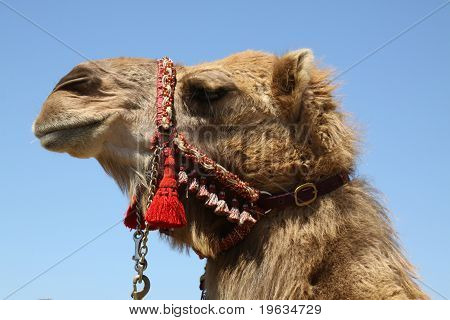 Camel Head Against Blue Sky