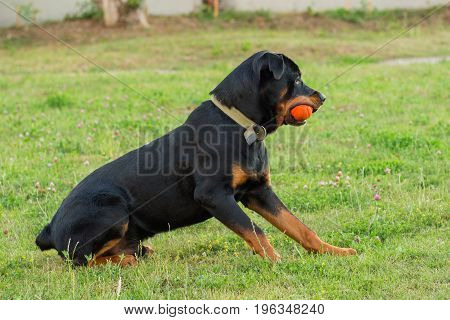 Black Rottweiler playing with orange ball toy