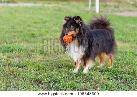 Black sheltie playing with orange ball toy on green grass