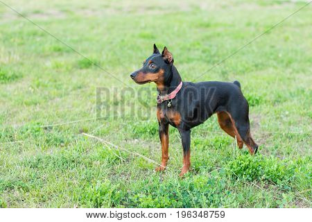 Little black dog standing on green grass