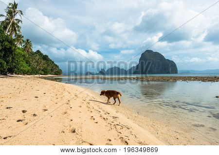 Wide angle picture of a dog walking lonely in the beautiful beach of Las Cabanas located in El Nido's Island Philippines. Tropical weather and vegetation.