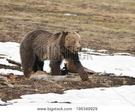 a grizzly bear puts it's paw on a log near the snow