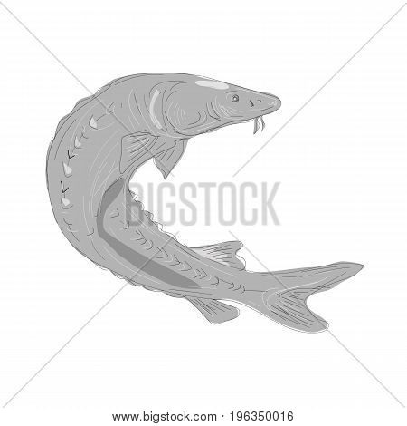 Illustration of a Lake Sturgeon Swimming Up done in hand sketch Drawing style.