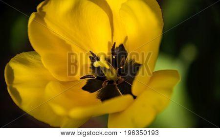Beautiful yellow tulip spring flower close up