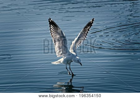 Flying Seagull close up in the process of landing in smooth water with reflections. Lake Macquarie New South Wales Australia.