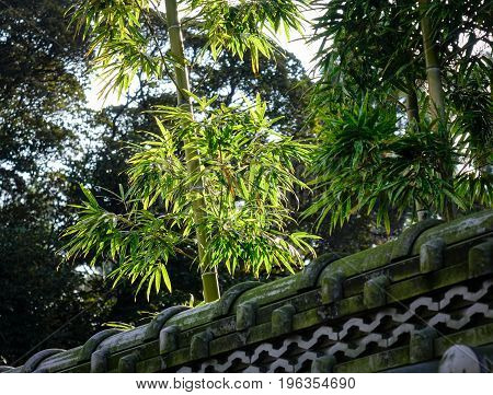 Bamboo Trees With Ancient Stone Fence