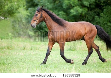 andalusian Horse run free on pasture portrait