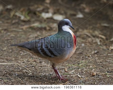 Luzon bleeding-heart standing on the ground in its habitat