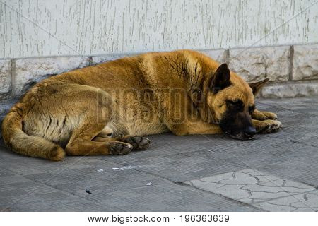 Homeless stray dog sleeping on the sidewalk