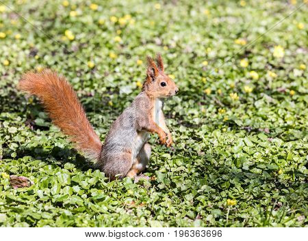 Young Red Squirrel Sitting On Green Grass With Yellow Flowers